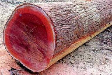 freshly cut massaranduba log